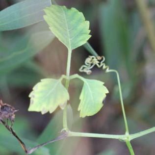 Cayratia clematidea