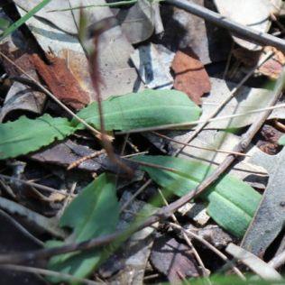 Chiloglottis formicifera