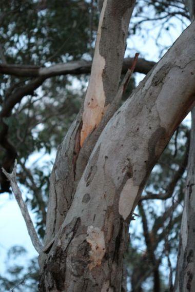 Eucalyptus punctata