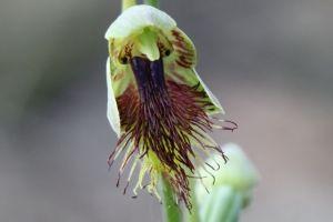 Calochilus campestris