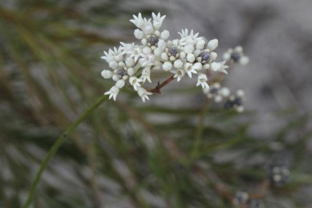 Conospermum taxifolium