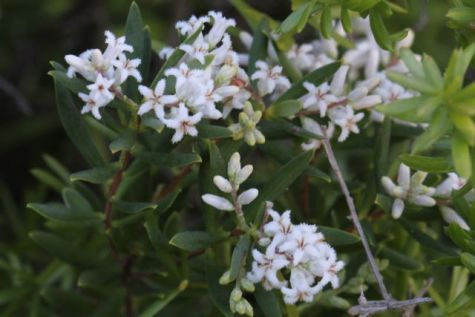 Leucopogon parviflorus