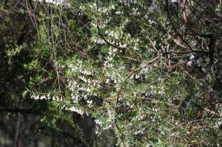 Leucopogon setiger