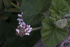 Pelargonium australe