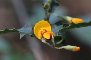 Podolobium ilicifolium