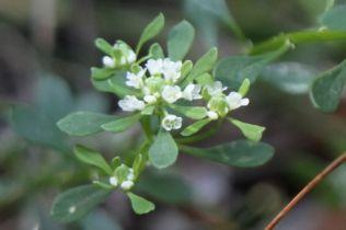 Poranthera microphylla