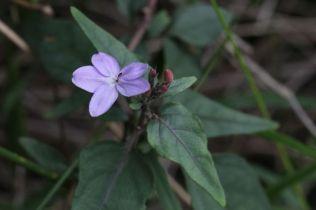 Pseuderanthemum variabile
