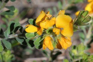 Pultenaea ferruginea