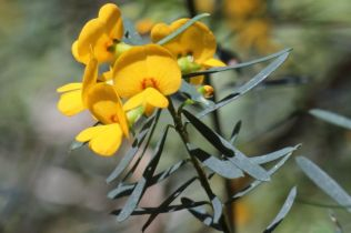 Pultenaea flexilis