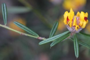 Pultenaea rosmarinifolia