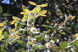 Syncarpia glommulifera
