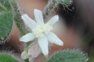 Xanthosia pilosa
