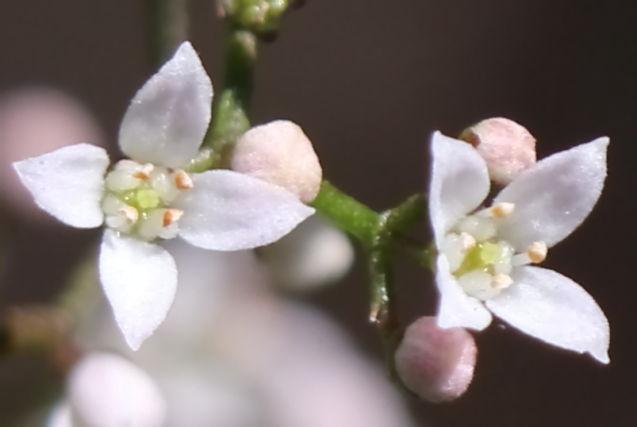 Zieria smithii