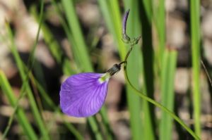 Hybanthus monopetalus