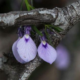 Hybanthus vernonii