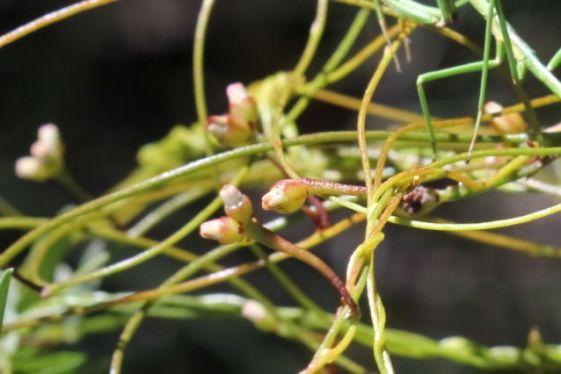 Cassytha glabella