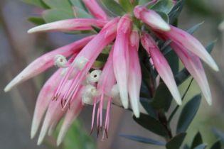 Styphelia triflora6