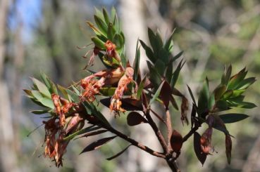 Styphelia triflora