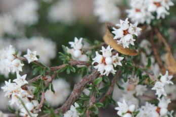 Cryptandra amara