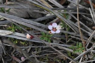 Euryomyrtus ramosissima