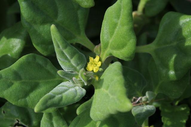 Tetragonia tetragonioides