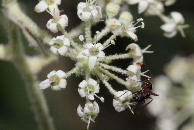 Astrotricha floccosa