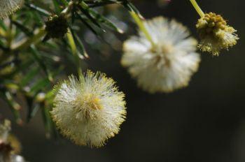 Acacia ulicifolia