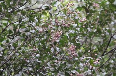 Acmena smithii