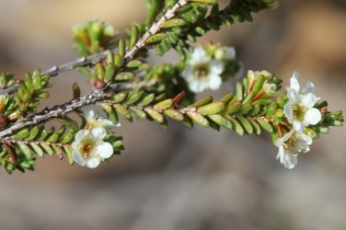 Baeckea diosmifolia11