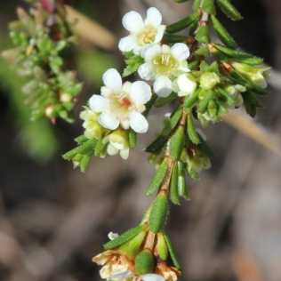 Baeckea diosmifolia12