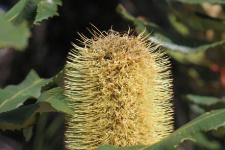Banksia robur10