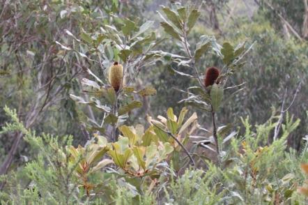 Banksia robur