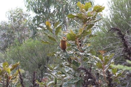 Banksia robur12