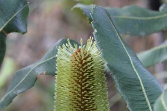 Banksia robur8