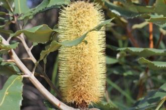 Banksia robur9