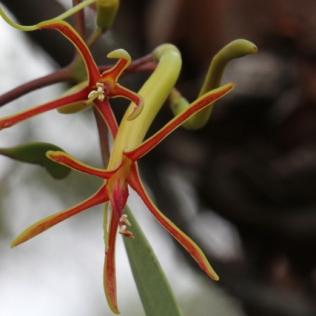 Muellerina eucalyptoides