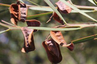 Acacia suaveolens