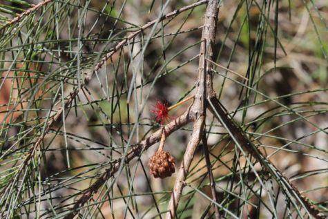 Allocasuarina torulosa