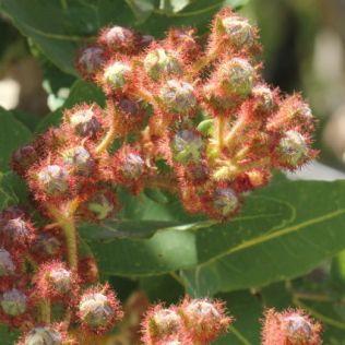 Angophora hispida