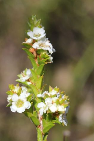 Baeckea diosmifolia