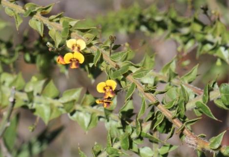 Daviesia umbellulata