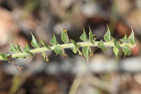 Daviesia umbellulata8