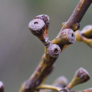 Eucalyptus luehmanniana