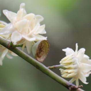 Eupomatia laurina