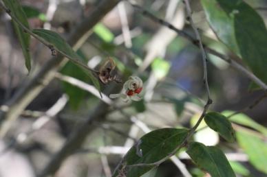Glochidion ferdinandi