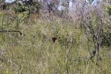 Haemodorum corymbosum