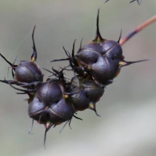 Haemodorum planifolium
