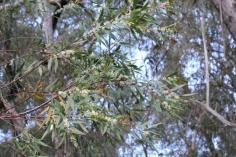 Hakea salicifolia