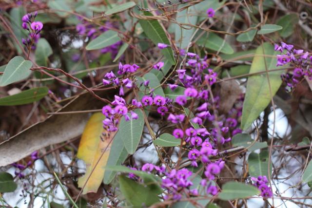 Hardenbergia violacea