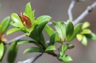 Hibbertia nitida